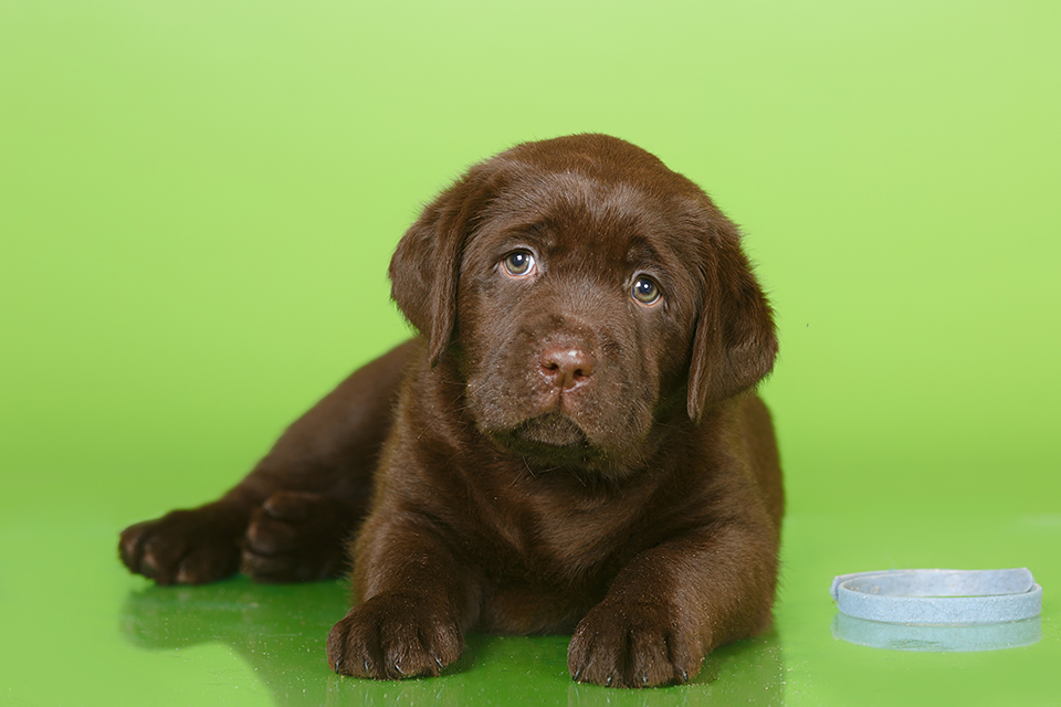 Шоколадные щенки лабрадора, шоколад, лабрадор, щенки, питомник, ДЕФИНО, puppies, Labrador, Choco, chocolate puppies, Defino