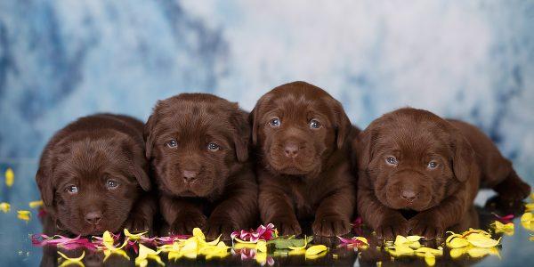 щенки лабрадора коричневые