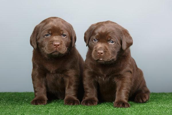 щенки лабрадора шоколадные