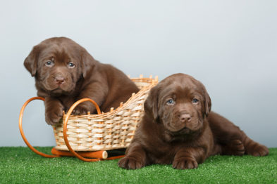 шоколадные щенки лабрадора