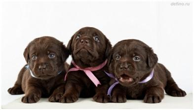 шоколадные щенки лабрадора, ведется предварительная запись