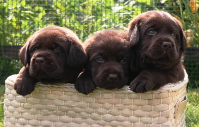 шоколадные щенки лабрадора в питомнике Дефино