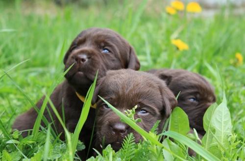 коричневые щенки лабрадора